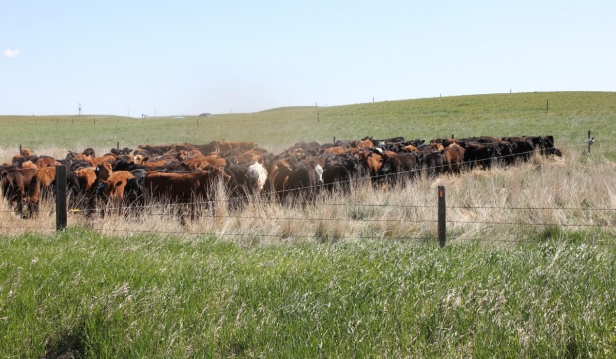 cattle 1240x826
